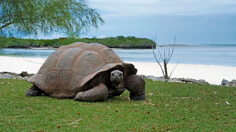 aldabra-giant-tortoise
