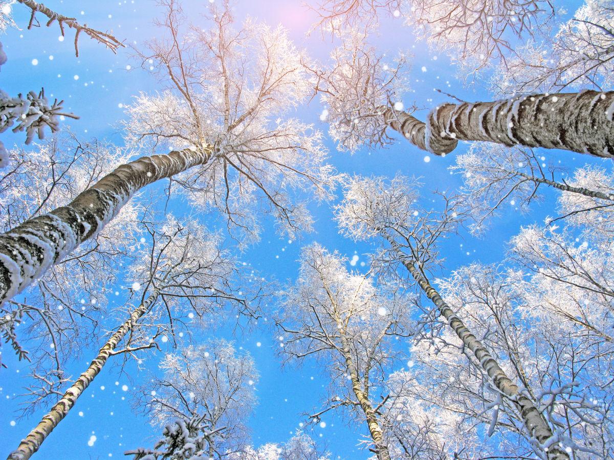 wondaeri-birch-forest