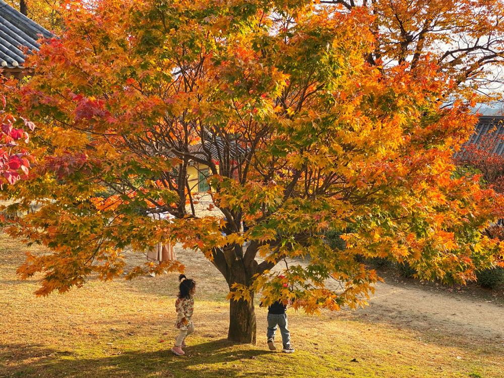 buseoksa-temple-maple-tree