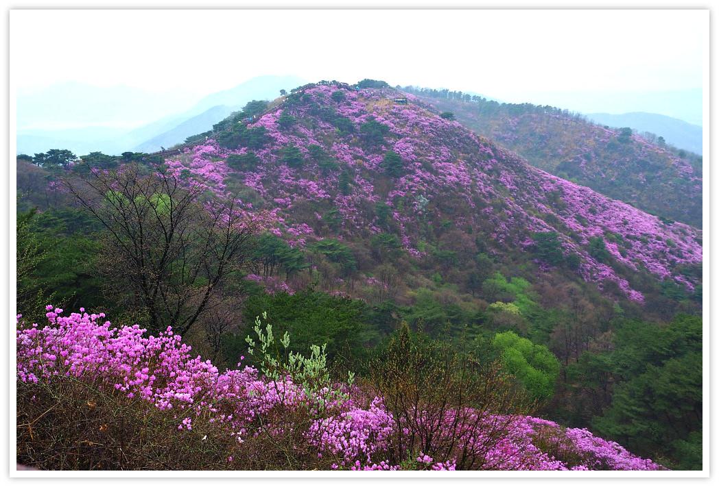 azalea-flowers