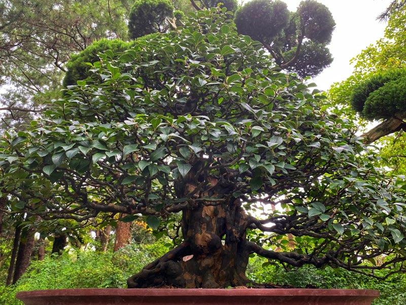 hallim-park-bonsai