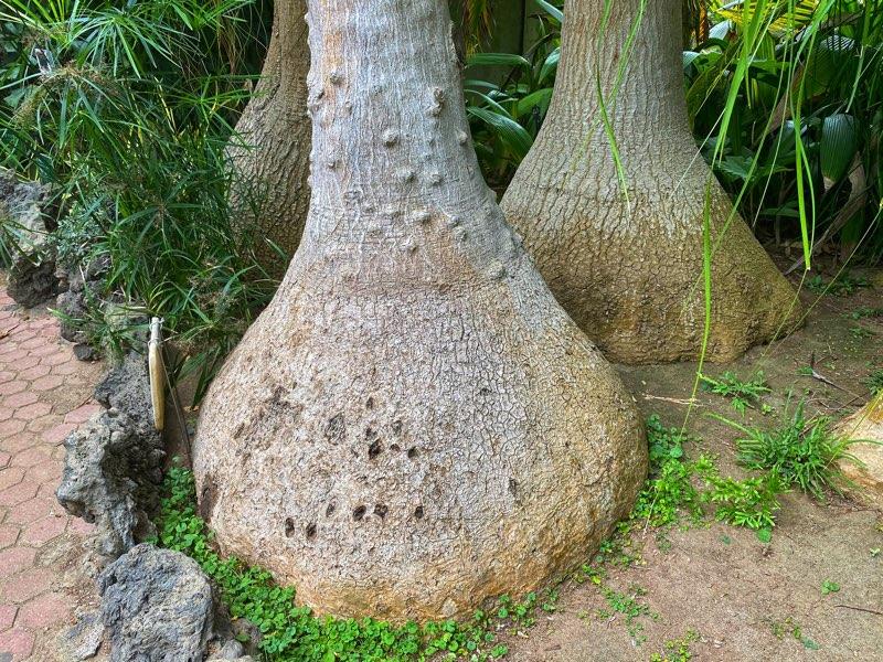 elephant-foot-tree
