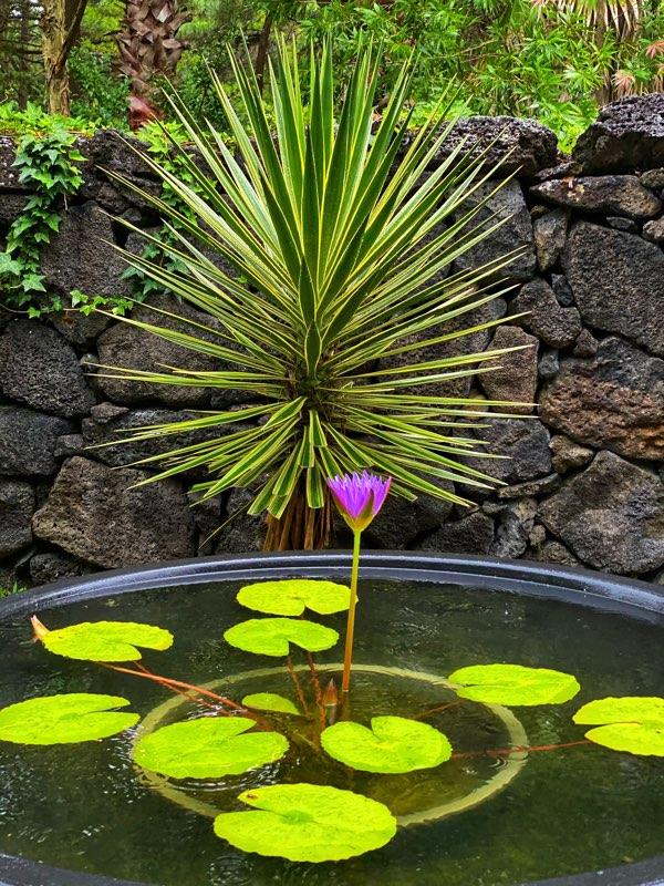 hallim-park-lily