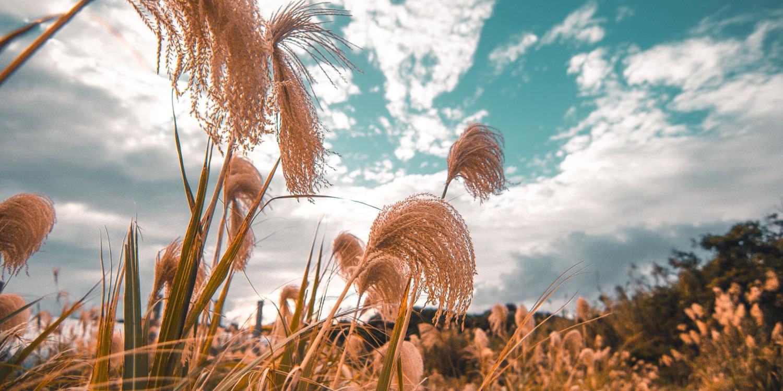 jangsan-mountain-silver-grass