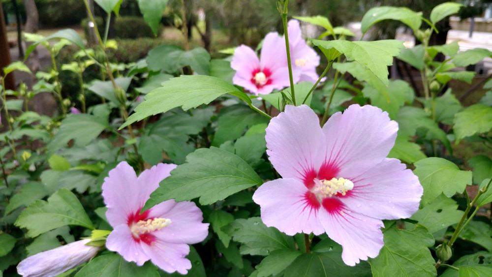 pink-mugunghwa-flower