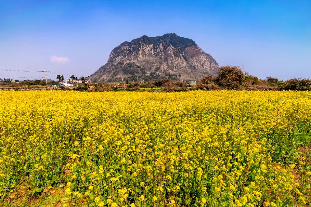 sanbangsan-mountain-canola