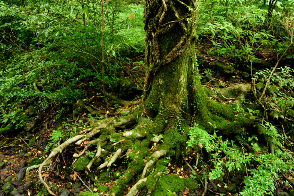 saryeoni-forest
