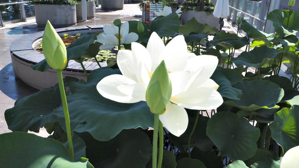 white-lotus-flower