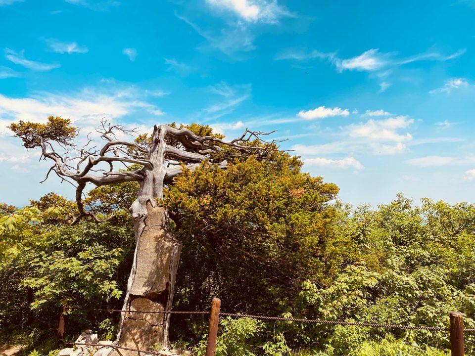 taebaek-mountain-yew-tree