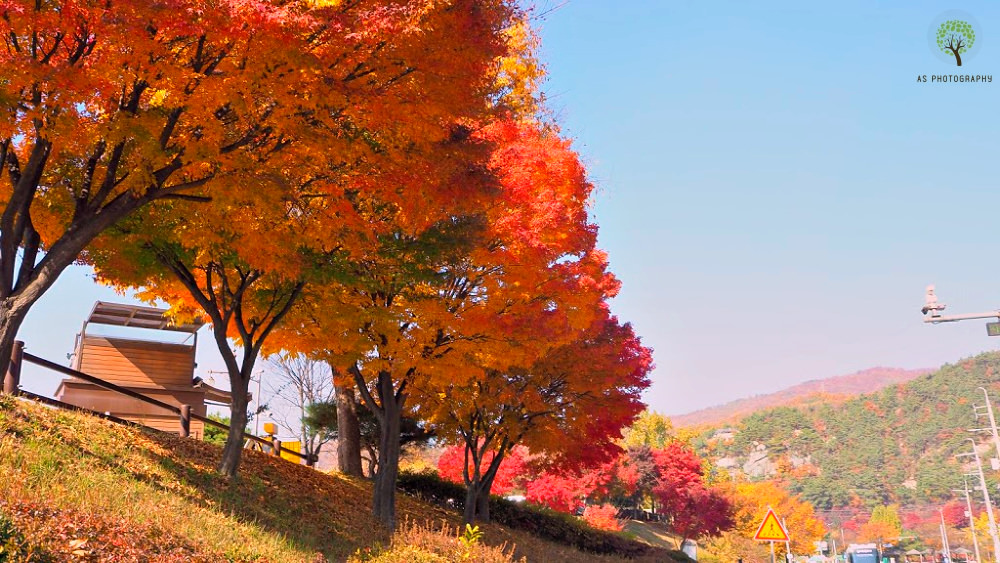 bukhansan-maple-trees