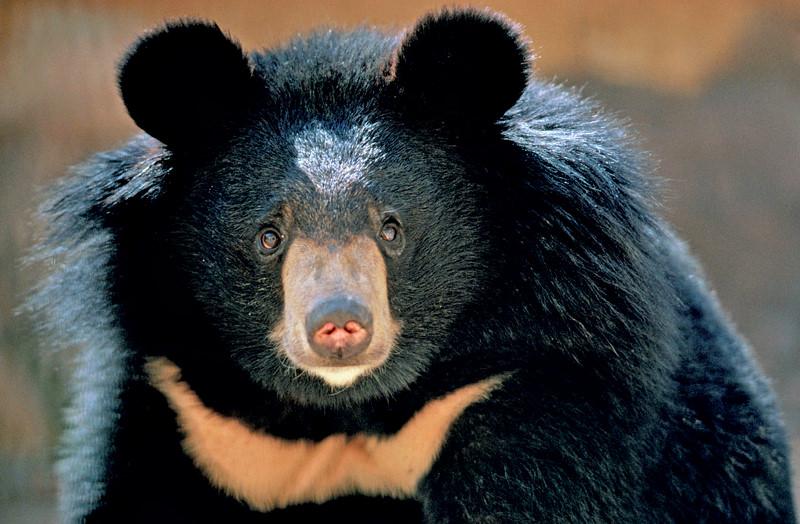 halfmoon-black-bear