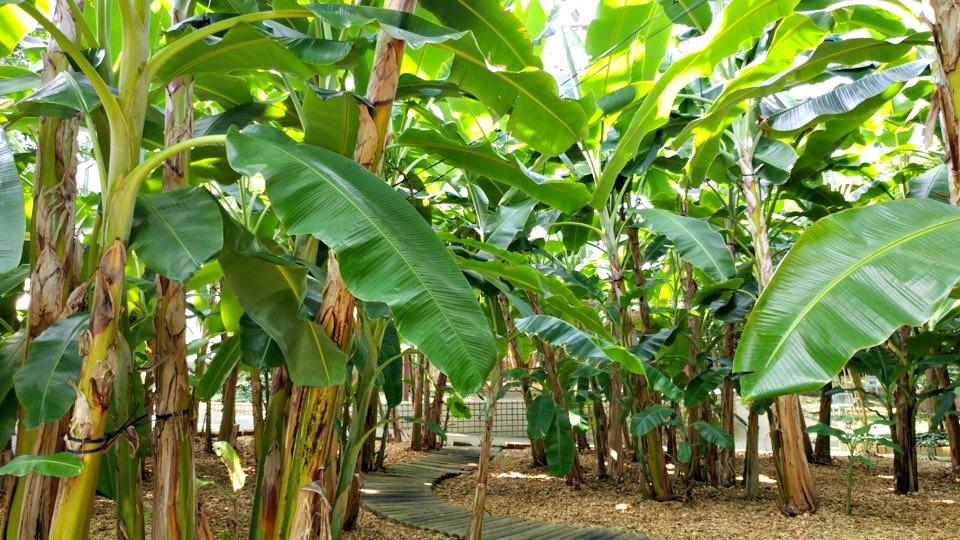 jeju-island-bananas
